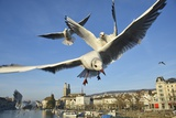 Seagulls over the City of Zurich, Switzerland Photographic Print by Robert Boesch