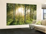 Birkenwald in der Morgensonne Fototapete Wandgemälde
