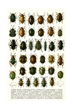 Vintage Illustration of Varieties of European Beetles Giclee Print