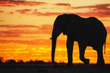 A Silhouette of a Large Male African Elephant Against a Golden Sunset Photographic Print by Jami Tarris
