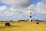Cows Grazing Near Kampen Lighthouse on Sylt Island Photographic Print by Wolfgang Kaehler