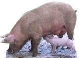 Pig and Piglet Silhouettes découpées en carton