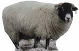 Mouton Silhouettes découpées grandeur nature