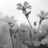 White Garden B&W Giclee Print by Andreas Stridsberg