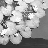 The Lily Pool B&W Giclee Print by Douglas Yan