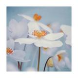 Spring Beauty II Blue Premium Giclee Print by Alicia Bock