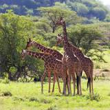 Masai Giraffe (Giraffa Camelopardalis Tippelskirchi), Samburu National Reserve, Kenya Fotografie-Druck von Ivan Vdovin