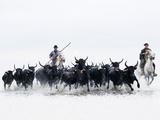 Black Bulls of Camargue and their Herders Running Through the Water, Camargue, France Papier Photo par Nadia Isakova