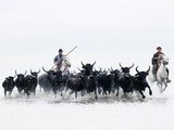 Black Bulls of Camargue and their Herders Running Through the Water, Camargue, France Photographic Print by Nadia Isakova