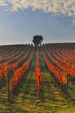 Italy, Umbria, Perugia District. Autumnal Vineyards Near Montefalco. Photographic Print by Francesco Iacobelli