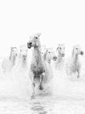 White Horses of Camargue Running Through the Water, Camargue, France Papier Photo par Nadia Isakova