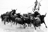 Black Bulls of Camargue and their Herder Running Through the Water, Camargue, France Photographic Print by Nadia Isakova