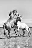 White Horses of Camargue Fighting in the Water, Camargue, France Photographic Print by Nadia Isakova