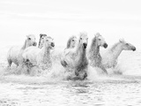 White Horses of Camargue Running Through the Water, Camargue, France Fotografisk tryk af Nadia Isakova