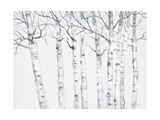 Birch Grove 2 Giclee Print by Hope Smith