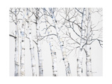 Birch Grove 1 Giclee Print by Hope Smith