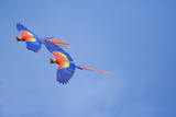 Scarlet Macaws (Ara Macao) on Flight, Corcovado National Park, Costa Rica Photographic Print by Marco Simoni