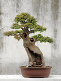 Bonsai Tree, Classical Garden, Suzhou, Jiangsu, China Photographic Print by Ivan Vdovin