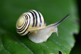 Snail on a Green Leaf Macro Photographic Print by Laetitia Julien
