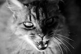 Face Angry Cat, Black and White Photographic Print by Laetitia Julien