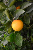 Orange Surrounded by Green Leaves in an Orange Tree Photographic Print by Laetitia Julien