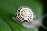 Snail Shell Dark Brown Stripes Photographic Print by Laetitia Julien