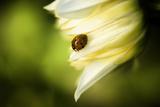 Ladybug II Photographic Print by Beth Wold