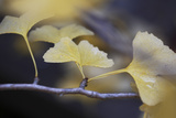 Autumn Gingko III Photographic Print by Rita Crane