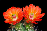 Claret Cup Flowers Photographic Print by Douglas Taylor