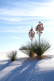 Yuccas & White Sand II Photographic Print by Douglas Taylor