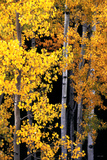 Aspens in Autumn Photographic Print by William Castner
