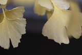 Autumn Gingko IV Photographic Print by Rita Crane