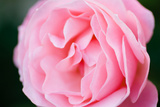 Pink Rose III Photographic Print by Beth Wold