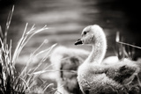 Gosling Photographic Print by Beth Wold