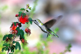 Hummingbird Photographic Print by Douglas Taylor