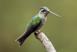 Hummingbird VIII Photographic Print by Larry Malvin
