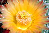 Cactus Flower III Photographic Print by Douglas Taylor