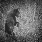 Black Bear Cub Photographic Print by Roberta Murray