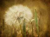 Dandelion Seed Photographic Print by Roberta Murray