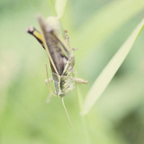 Grasshopper Sq Photographic Print by Roberta Murray