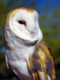 Barn Owl Photographic Print by Douglas Taylor