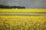 Canola Blossoms Photographic Print by Roberta Murray