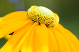 Yellow Cone Flower I Photographic Print by Beth Wold