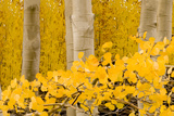 Aspen Stand II Photographic Print by William Castner