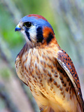 American Kestrel Photographic Print by Douglas Taylor