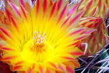 Cactus Flower I Photographic Print by Douglas Taylor