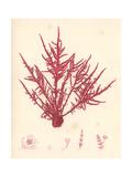 Red Botanical Study II Premium Giclee Print by Kimberly Poloson