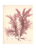 Red Botanical Study IV Premium Giclee Print by Kimberly Poloson