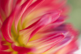 Dahlia Close-up I Photographic Print by Beth Wold