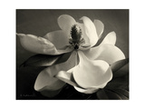 Magnolia Bloom Print by Amy Melious